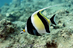 Moorish Idol on the go. 60MM macro 1/160s F5.6 by Stuart Ganz 
